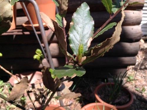 月桂樹の新芽