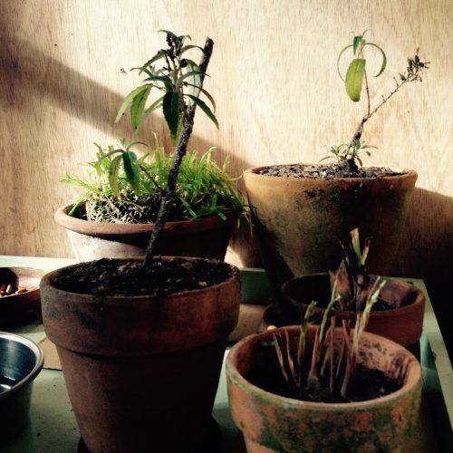 室内で越冬中の植物たち