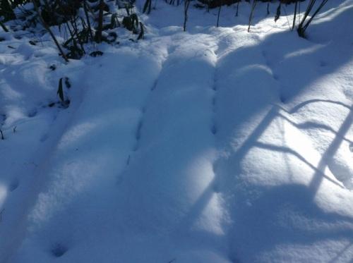 雪に埋もれたコユキコムギ