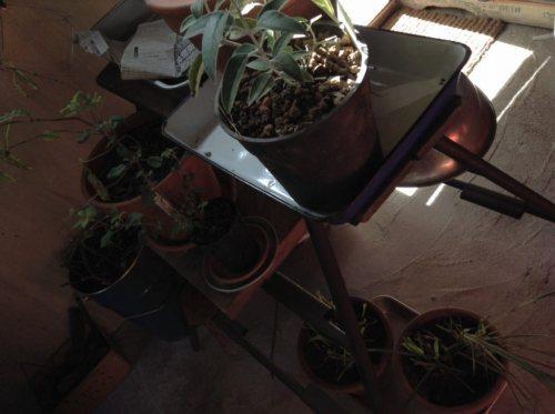 ストーブのそばは植物でっぱい