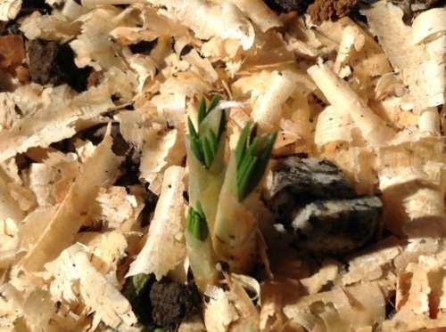 サフラン、芽が出てきた