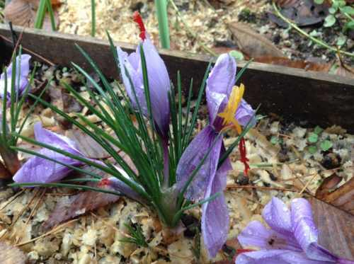 花が咲いて散ったサフラン
