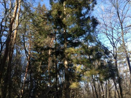 杉線香をつくる。杉の枝を採取。