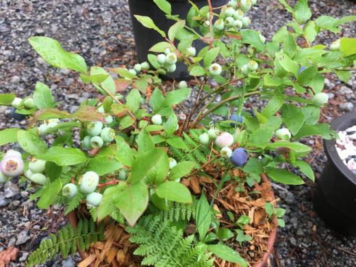 挿し木で育てたブルーベリー
