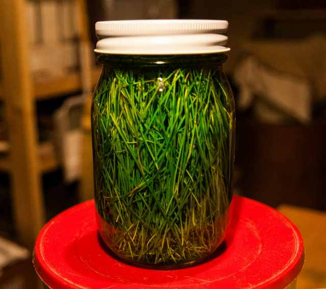Pine needle cider (5)