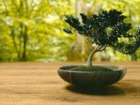 イワヒバを石付きに仕立てるって盆栽?