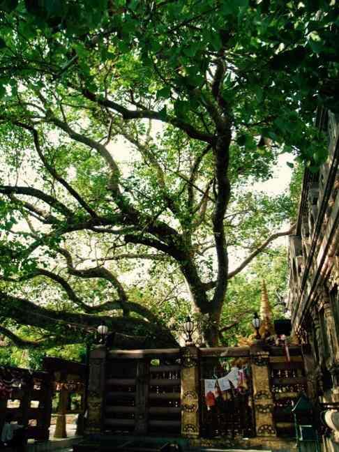 マハボディ寺院内菩提樹