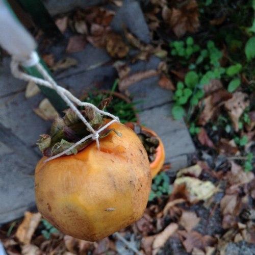 タコ糸を通した柿
