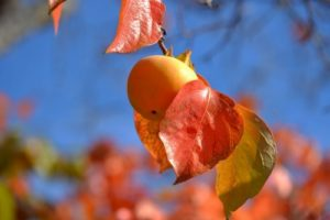 柿の木と柿の実