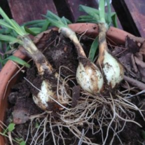 再生タマネギの収穫