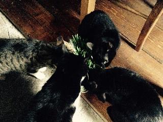 みんなで猫草を食べる