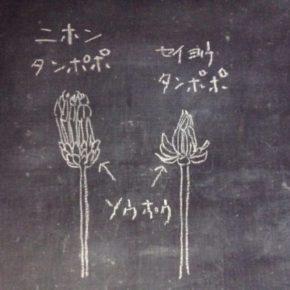 日本タンポポと西洋たんぽぽ