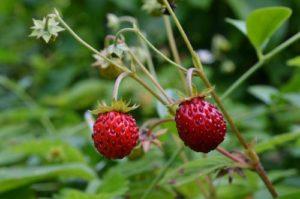 wood-strawberry